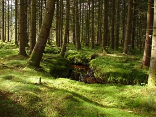 Де ростуть найвищі ліси?