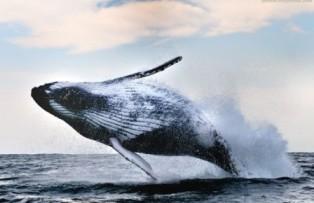 горбати кит, компас, навігація, Світовий океан