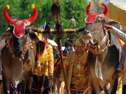 Камбоджа, священні бики, традиція, урожай, рис
