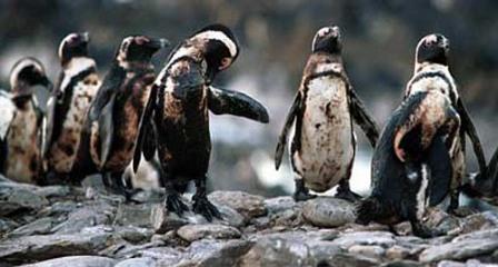 Південна Атлантика, пінгвін, корабельна аварія, розлив нафти, порятунок