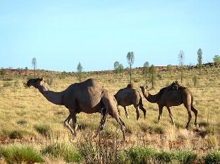 парниковий ефект, Австралія, верблюди, метан, викиди вуглекислого газу