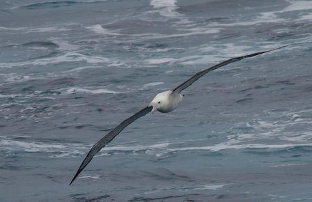 альбатрос, птахи, вітер, глобальне потепління