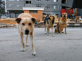 бродячі собаки, Неуронов, місто, потепління