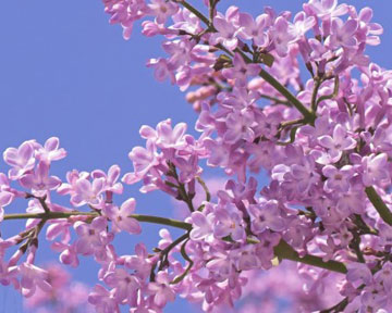Південний берег Криму, цвітіння, бузок, Севастополь, температура повітря