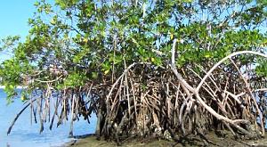WWF, острови Фіджі, мангри, мангрові ліси