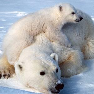 Резервація, ведмідь, США, Червона книга, Служба рибних ресурсів та дикої природи