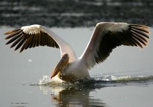 Алтай, аномалія, пелікани, переліт