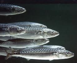 скумбрія, риба, ставрида, Чорне море, Туреччина