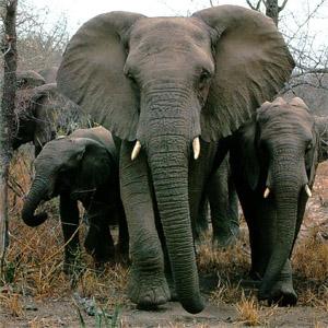генетичний аналіз, африканські слони, мамонт, мастодонт