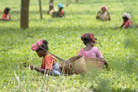 Південно-Східна Азія, сільське господарство, Рослинництво, чай, прянощі, цукрова тростина, Тваринництво
