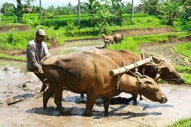 Південна азія сільське господарство