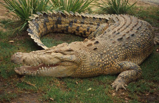 Малайзія, Борнео, популяція крокодилів, список вимираючих тварин