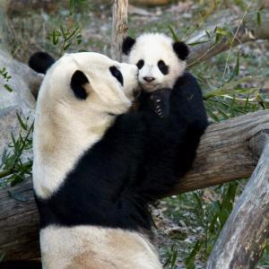 заповідник ,Китай, панда, дика природа