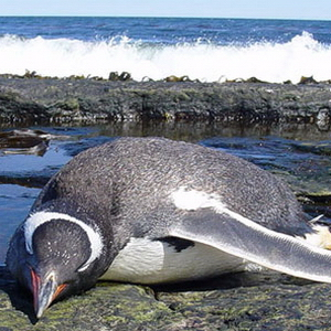 Тварини, Цікаве, Нова Зеландія, Океани, Пінгвіни