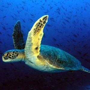 морські черепахи, аварія в Мексиканській затоці, гнізда черепах, екологи