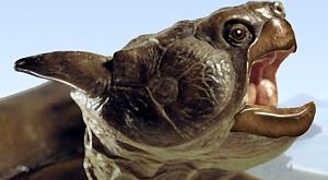 мегафауна, гігантські черепахи, винищення