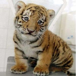 тигреня, контрабанда, Таїланд, охорона природи