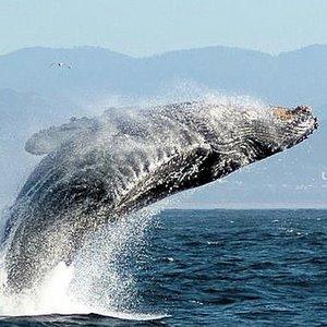 горбатий кит, заплив, Бразилія, Мадагаскар