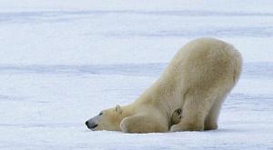 зміна клімату, білий ведмідь, гуси , Канада
