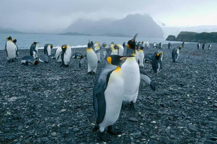 пінгвін, популяція, криль, Аделі, море Скоша